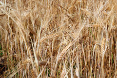 Barley in a field background. royalty free stock photography