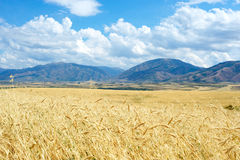 Barley field on a background of mountains Royalty Free Stock Photo