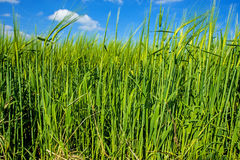 Barley, field with bleu sky Stock Images