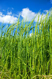 Barley, field with blue sky Stock Photography