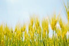 Barley field with blue sky Stock Photo