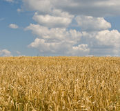 Barley Field and Blue Sky Stock Photo