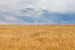 Barley field and a blue sky with clouds Stock Photo