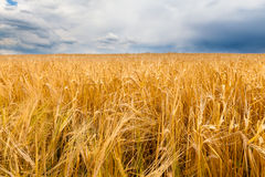 Barley field and a blue sky with clouds Stock Photography