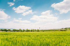 Barley field with blue sky at spring day Royalty Free Stock Image