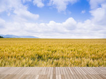 Barley field with blue sky Stock Image