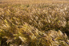 Barley field at bright sunny day Royalty Free Stock Image