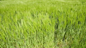 Barley Field Close up stock footage