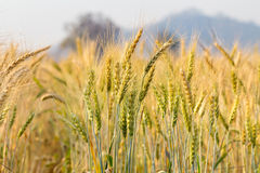 Barley on a field Stock Photography