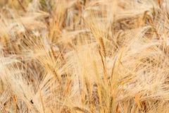 Barley on a field Stock Photo