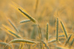 Barley Field. Stock Images