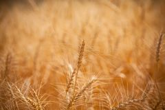 Barley field closer. Golden barley field closer, Agriculture farm and farming concept, banner stock photography