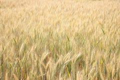 Barley field. Closeup of  barley field background Royalty Free Stock Photos