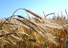 Barley field. Closeup of ears of corn in a danish  Royalty Free Stock Image