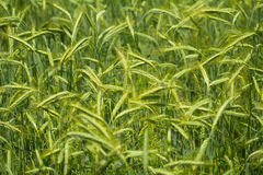 Barley field closeup Stock Photography