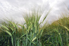 Barley field. In cloudy day Royalty Free Stock Photography