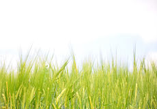 Barley field Stock Photography