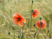 Barley field with corn poppy Royalty Free Stock Image