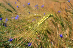 Barley field and cornflowers Stock Photo