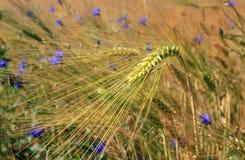 Barley field and cornflowers Stock Photo