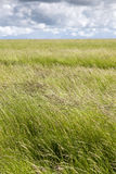 Barley field crop Royalty Free Stock Photography