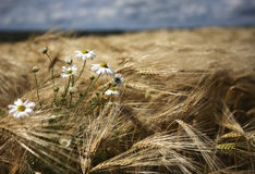 Barley field and daises Royalty Free Stock Images