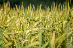 Barley field in detail Royalty Free Stock Images
