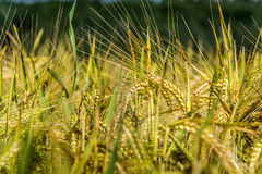 Barley field in detail Royalty Free Stock Photo