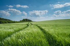 Barley Field in Dorset, UK with Blue sky and clouds Royalty Free Stock Photography