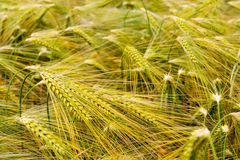 Barley field in early summer, great britain Stock Image