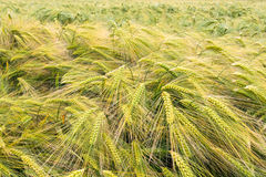 Barley field in early summer, great britain Royalty Free Stock Image