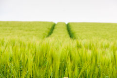 Barley field in early summer Royalty Free Stock Images