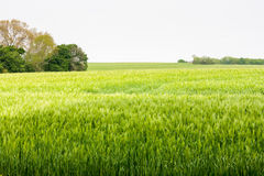 Barley field in early summer, great britain Stock Photo