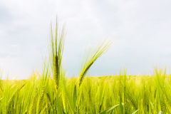 Barley field in early summer, great britain Stock Photos
