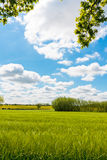 Barley field in early summer, great britain Stock Photography
