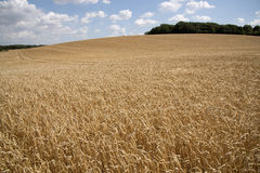 Barley in a field England UK Royalty Free Stock Photography