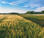 Barley field. In evening. Kaluga region of Russia Stock Photos