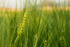Brew Barley. Barley field in field demonstrations Stock Photography