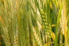 Brew Barley. Barley field in field demonstrations Royalty Free Stock Image