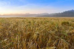 Barley field and foggy august morning. Stock Photo