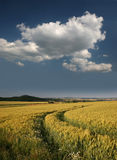 Barley field in Germany, Gerstenfeld bei Kassel Stock Photography