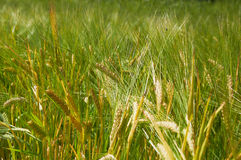 Barley field is getting yellow Royalty Free Stock Image