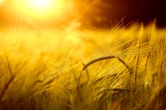 Barley field in golden glow royalty free stock photography