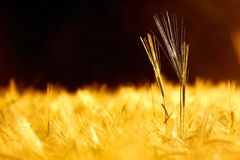Barley field in golden glow of the evening sun Royalty Free Stock Photos