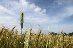 Barley on the field before harvest Royalty Free Stock Images