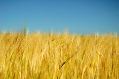 Barley. In the field before harvest on a blue sky background Royalty Free Stock Images