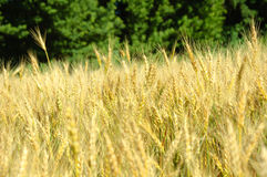 Barley. In the field before harvest on a blue sky background Royalty Free Stock Photography
