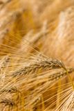 Barley field before harvest Royalty Free Stock Photography