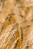 Barley field before harvest Stock Photography