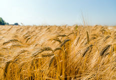 Barley field before harvest Royalty Free Stock Images